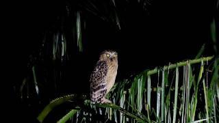 马来渔鸮 Buffy Fish-Owl in Malaysia Jul2020