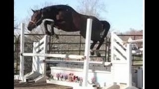 """FOR SALE 3 Yr old Colt by """"RED WINE"""" Leading Hunter Sire. TOP PROSPECT"""