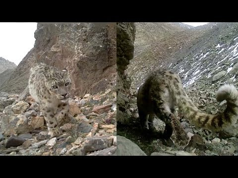 Snow leopards captured on multiple occasions in 2017 in NW China