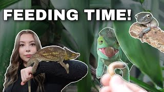 Feeding My Chameleons, Geckos And Frog! | Feeding Vlog by Emma Lynne Sampson