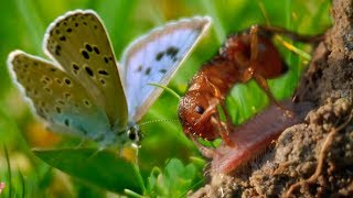Ants Adopt a Butterfly | BBC Earth