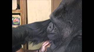 Робин Уильямс и горилла Коко