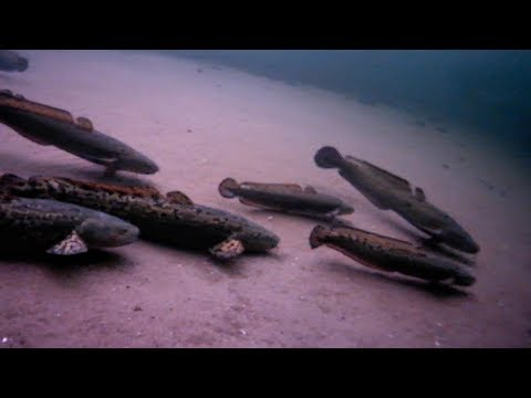 Isfiskeri efter knuder