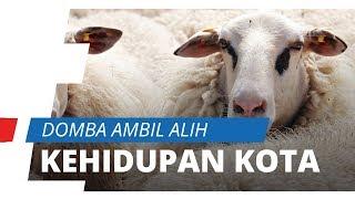 Kota Menjadi Sepi karena Lockdown, Kawanan Domba Ini Ambil Alih Kehidupan Kota