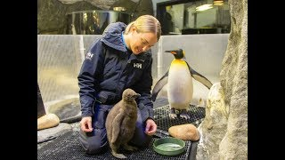 New King Penguin chick welcomed at SEA LIFE Sydney Aquarium