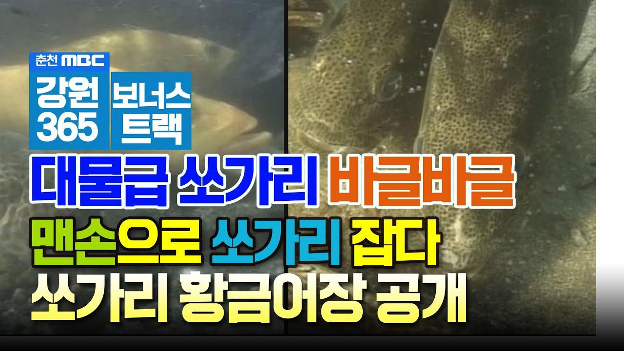 엄청 큰 쏘가리가 바글바글, 1미터 육박하는 쏘가리를 맨손으로 잡는다