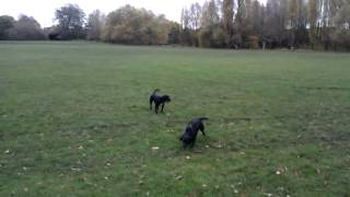 preview picture of video 'Dog Walking Tooting www.harrisons-dogs.co.uk'