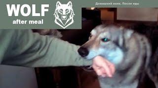 Домашний волк Макс после еды