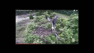 The Osprey Live Nest Cam @ Terrapin Cove : Rey Fleeing Capture