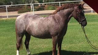 For Sale: Fireworks On Friday - 2016 Welsh Pony Mare