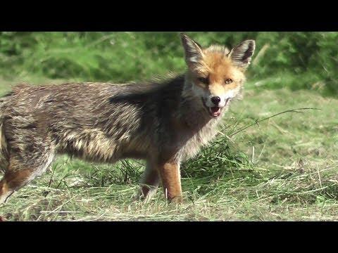 Fox is chasing mice - part 1 (Vulpes vulpes) - jagender Fuchs - slow motion