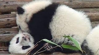 preview picture of video 'Panda Kindergarten Chengdu panda base 2011 パンダ幼稚園 大熊猫  成都'