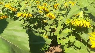Подсолнечник цветет и пахнет. Бузулук 3 августа.