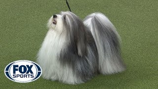 Group judging for the Toy Group at the 2019 Westminster Kennel Club Dog Show | FOX SPORTS
