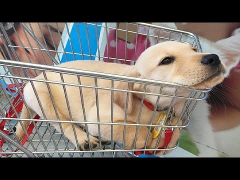 Labrador Puppies Funny Compilation #11 - Best of 2018