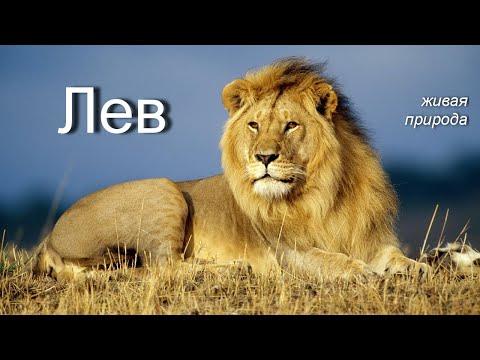 Лев. Живая природа. Факты и образ жизни животного.