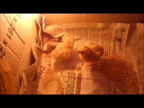 Video perawatan anak ayam baru menetas