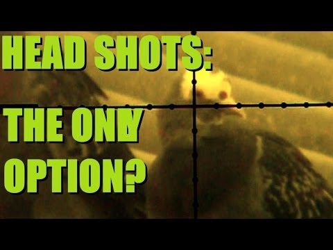 Are head shots the only option for airgunners?