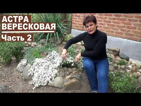 Почвопокровные многолетники  Астра вересковая   красивейшее растение