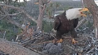 Big Bear Eagle Cam-. EAGLE INTRUDER !!..LOUD ALARMS ! .JACKIE & SHADOW.   5/1/19