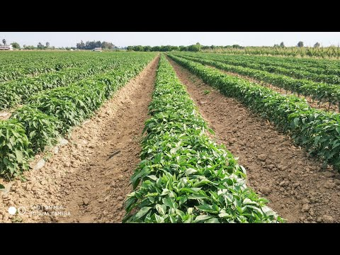 , title : 'Awesome jalapeno pepper cultivation. Jalapeno pepper farm and harvest