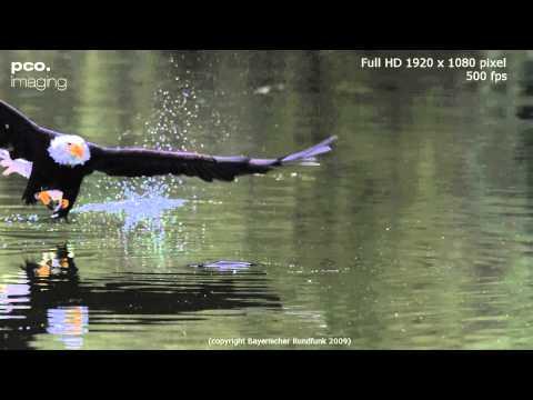 النسر الأصلع في حركة بطيئة عند اصطياد السمكة
