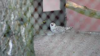 Snowy owl (Bubo scandiacus) is breeding