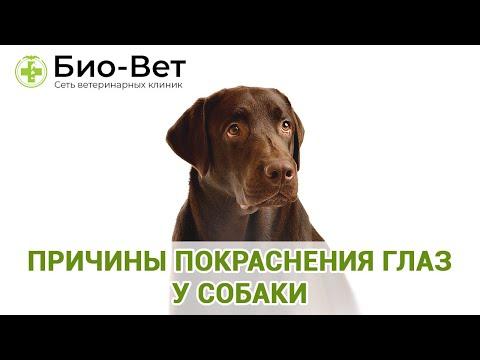 Причины Покраснения Глаз У Собаки& Что Делать Если У СОбаки Красные Глаза. Ветклиника Био-Вет