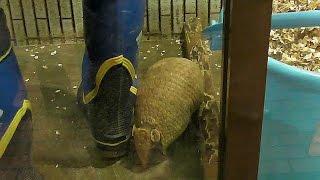 掃除中の飼育員とアルマジロ上野動物園Armadillo&zookeeper