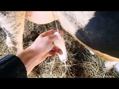 Острый мастит у коров.Опыт комплексной терапии .Acute mastitis in cows.