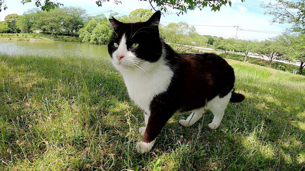 ハチワレ猫が池のほとりをお散歩して、大きな木の下で休憩する