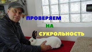 Как проверить крольчиху на беременность (сукрольность) с помощью пальпации
