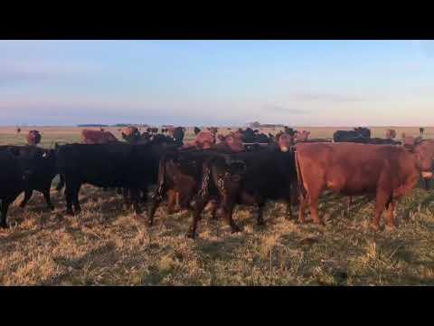 Imagen 230 vacas preñadas en Dolores