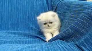 Персидские кошки, Персидский котенок играет