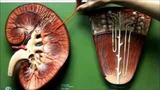 Kidney Anatomy Urinary Model Renal System