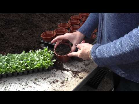 How to: Potting up Plug Plants