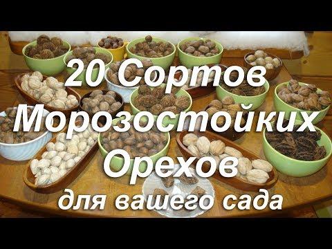 Описание сортов морозостойких орехов