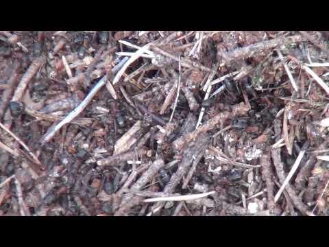 der Ameisenhügel