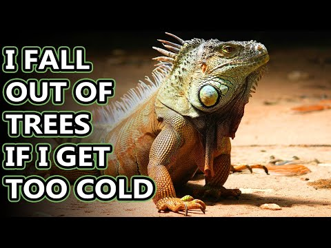 Green Iguana facts: also orange iguana facts | Animal Fact Files