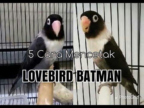 mp4 Persilangan Lovebird Batman Dan Olive, download Persilangan Lovebird Batman Dan Olive video klip Persilangan Lovebird Batman Dan Olive