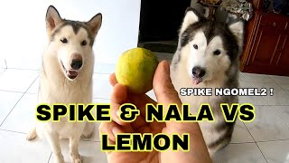 Video SPIKE & NALA VS LEMON (  FUNNY MALAMUTE VS LEMONS ) - VLOG MP3, 3GP, MP4, WEBM, AVI, FLV September 2019