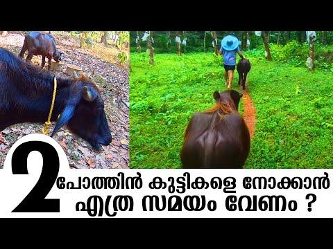 രാവിലെ  പോത്തിൻ കുട്ടന്മാരോടൊപ്പം | Morning with buffaloes happy farming | | പോത്ത് വളർത്തൽ