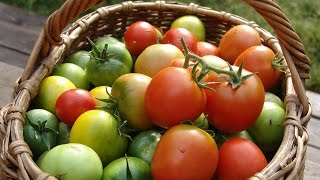 Четыре фактора, влияющие на урожай томатов видео