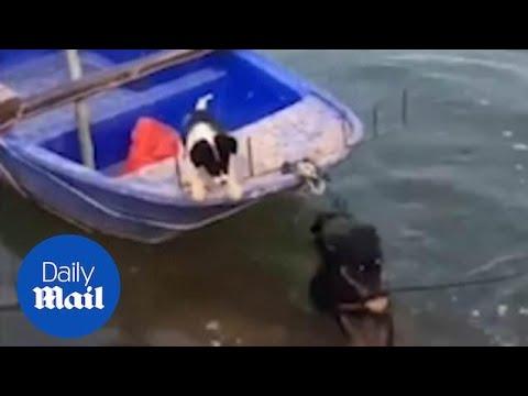 Σκύλος σώζει ένα κουτάβι πάνω σε μια βάρκα