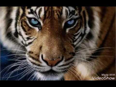 Мой братан тигр!