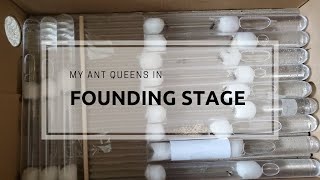 My Queen Ants in Founding Stage