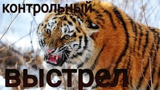 Hunting for the Amur tiger