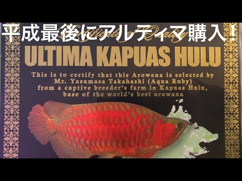平成最後の大物購入!アクアルビーのレッドアロワナ アルティマ ステゴサウルスタイプを迎える! 熱帯魚アクアリウム
