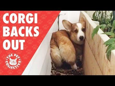 Corgi Butt | Corgi Backs Out In The Cutest Way Possible