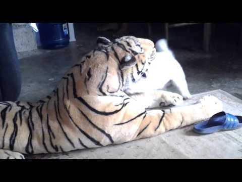 Crazy Dog Vs Toy Tiger